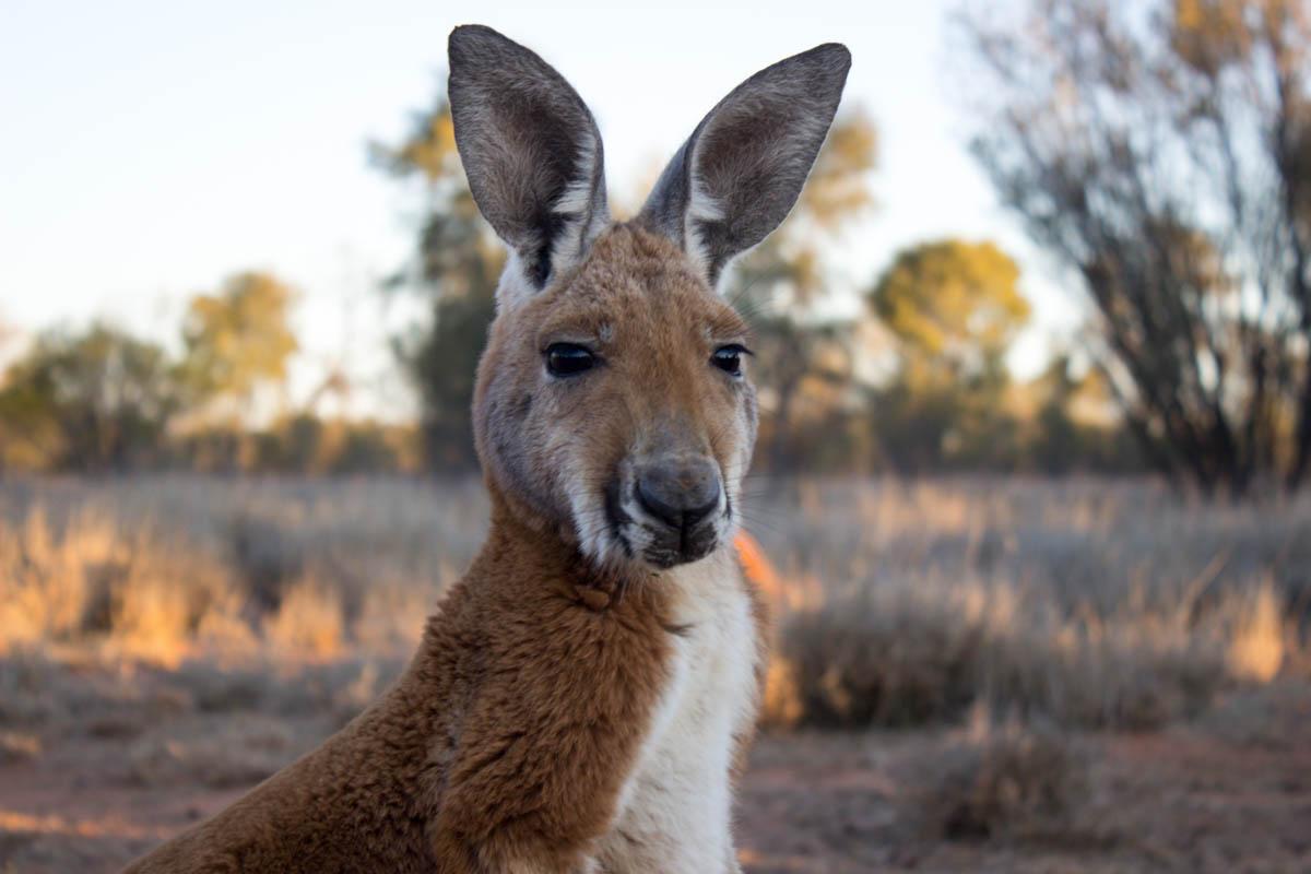 Holding Baby Kangaroos at the Kangaroo Sanctuary in Alice Springs - Diaries of a Wandering Lobster